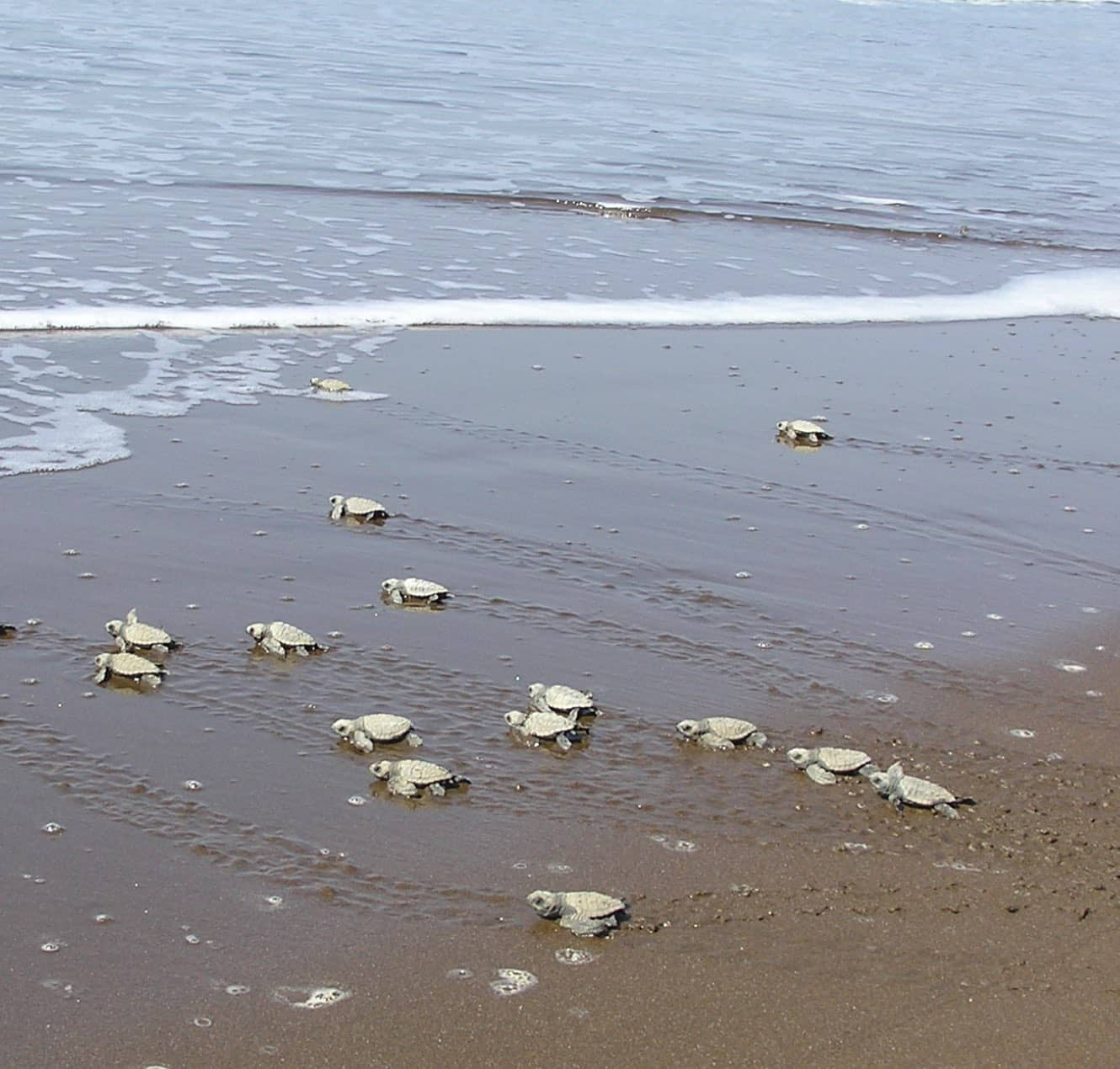 Saving Turtles to Promote Tourism and Local Economy